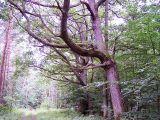 Leciwy drzewostan